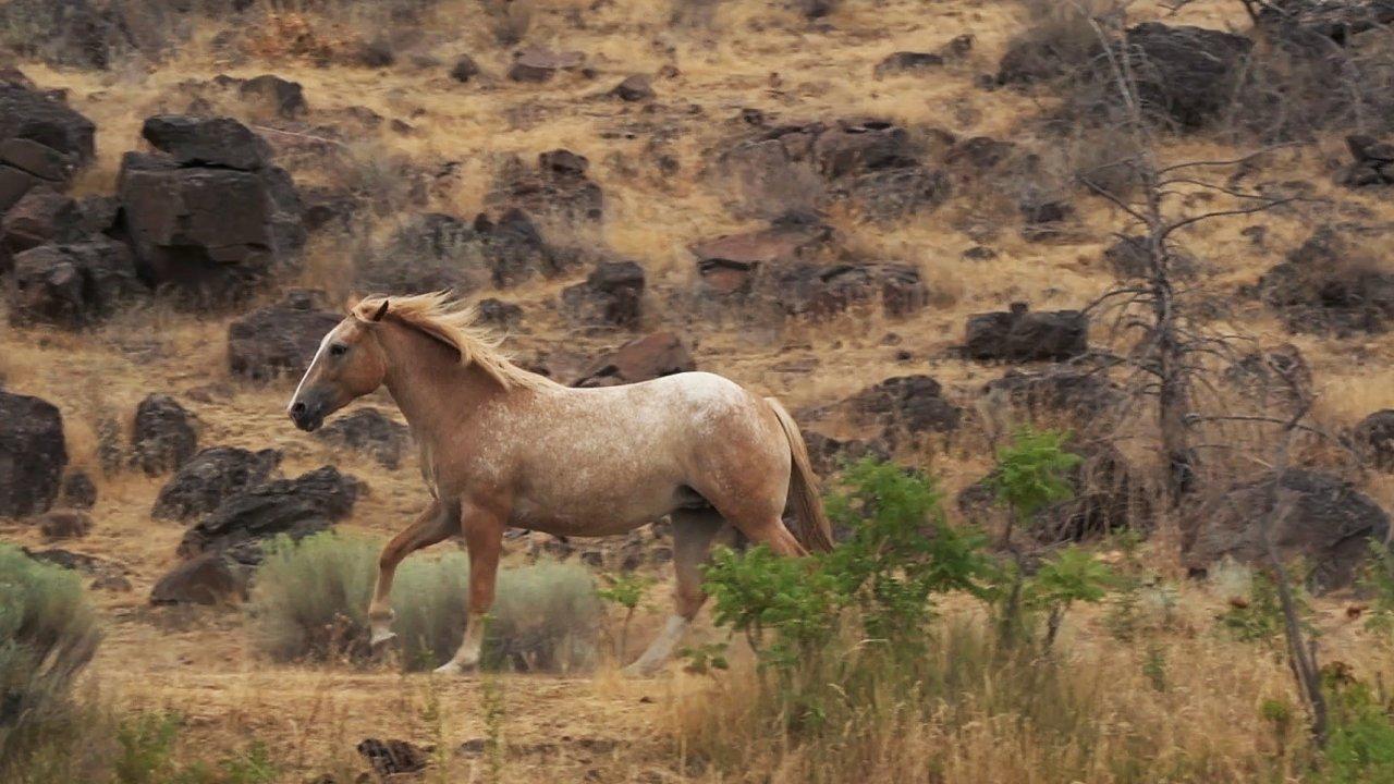 wild palimino horse galloping along the deschutes river