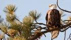 bald eagles in north idaho