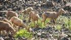 mountain goats grazing along the salmon river in Idaho