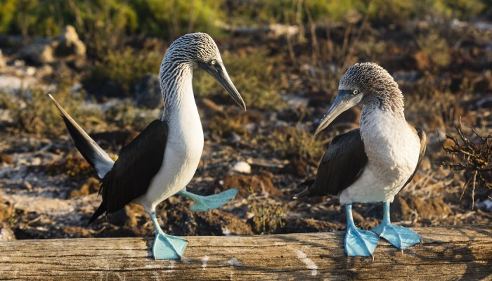 Creature Feature - Blue Footed Boobie